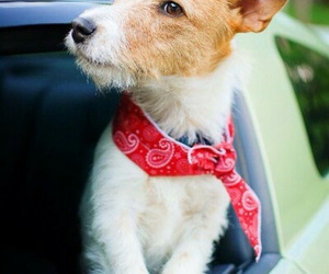 dogs, red bandana, and Terrier image