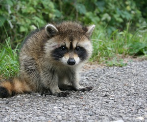 baby animals, cute, and raccoons image