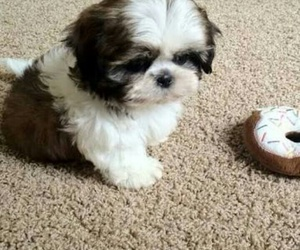 dog, shih tzu, and cute image
