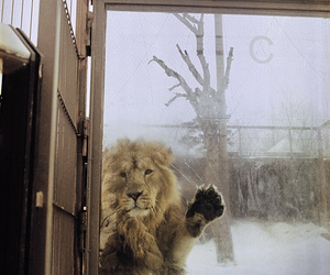 lion, animal, and snow image