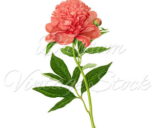 clipart, peony, and pink image