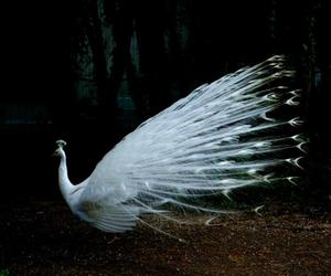 peacock, beautiful, and white image