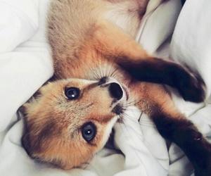 animal, fox, and adorable image