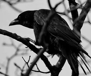 crow, dark, and raven image