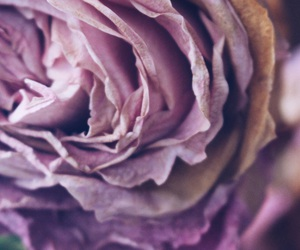 dying, purple, and rose image