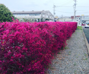 bushes, japan, and pink image