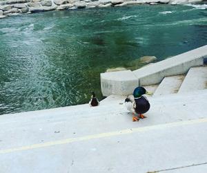 ducks, Nevada, and reno image