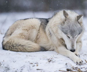 animals, wolf, and snow image