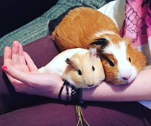 guineapig, gizy, and gwizdo image
