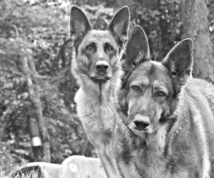 dog, german shepherds, and puppy image
