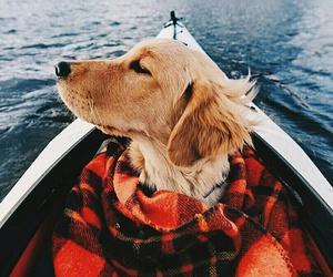 beautiful, dog, and golden image