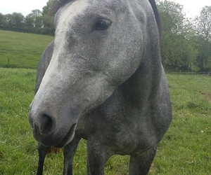 grey, horse, and lové image