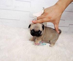 animal, baby, and pug image