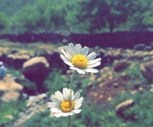 daisy, day, and flower image
