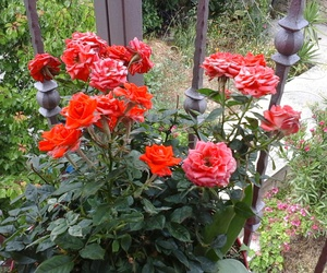 flowers, garden, and red image
