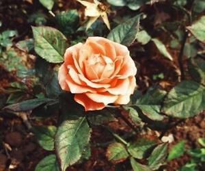 green, orange, and rose image