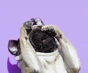 dog, pug, and purple image