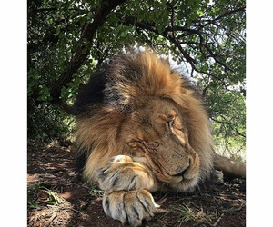 lion and cat image
