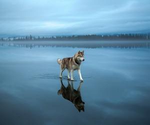 dog, blue, and husky image