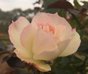 argentina, flower, and rose image
