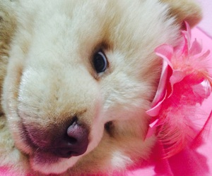 bear, diva, and chowchow image