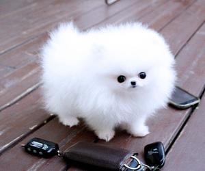 animal, perro, and pomeranian image