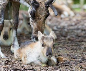 baby animals, cute animals, and reindeer image