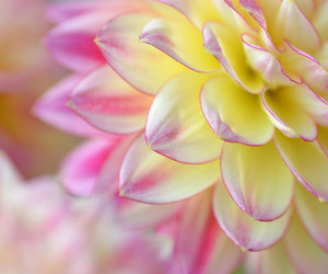 dahlia, etsy, and flower print image