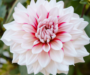 dahlia, flower, and flowers image