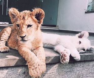 animals, lions, and socute image