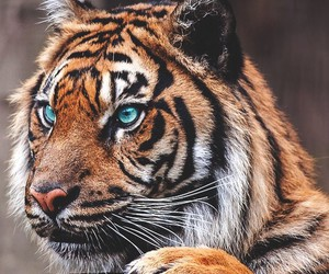 tiger, animal, and eyes image