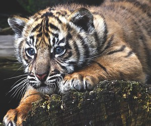 animal, tiger, and baby image