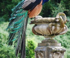 peacocks image