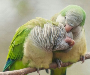 green, parrots, and love image