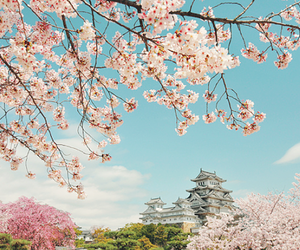 flowers, japan, and sakura image