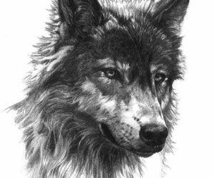 black and withe, draw, and wolf image
