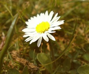 daisys, grass, and photography image