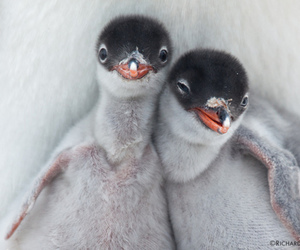 adorable, i want one, and penguin image
