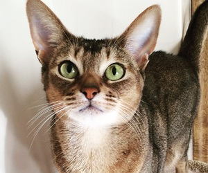 beautiful, cat, and abyssinian image
