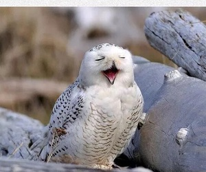 funny, opera, and owl image
