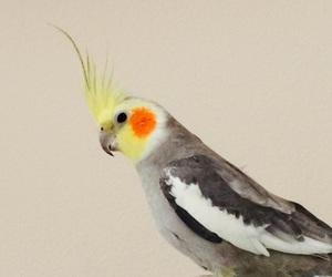 animal, bird, and cockatiel image