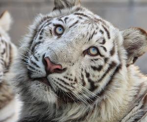 animal, aqua, and baby tiger image
