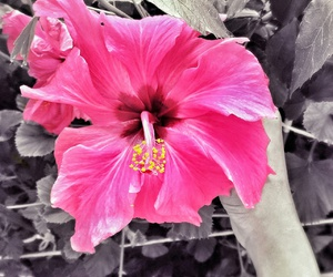 flower, hibiscus, and photography image