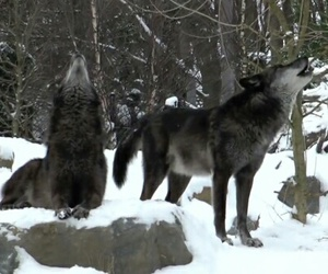 animals, grey, and wolf image