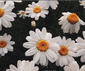 flowers, daisies, and white image