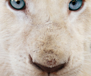 animal, lion, and blue eyes image