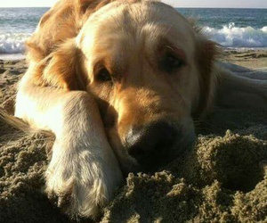 dog, beach, and golden retriever image