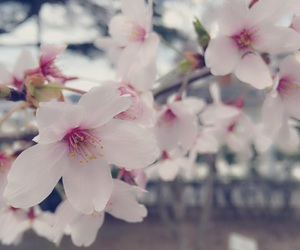 桜, きれい, and fromjapan image