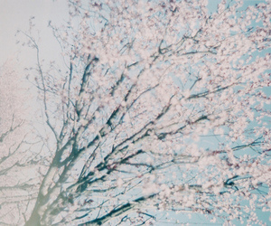 cherry blossoms and sakura image