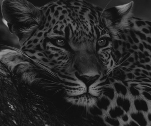 animal, leopard, and cat image